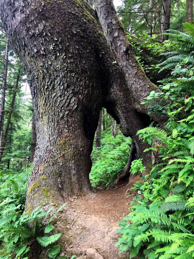 See through tree on Neahkahnie Mountain to Cape Falcon hike